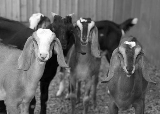BW goat