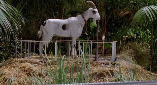 jerrasic goat