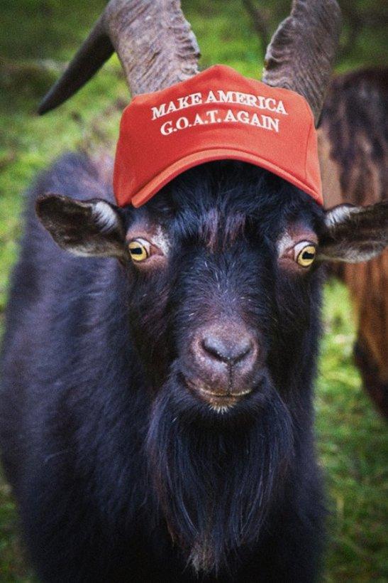 goat again