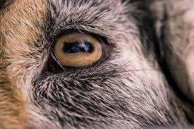 goats eye