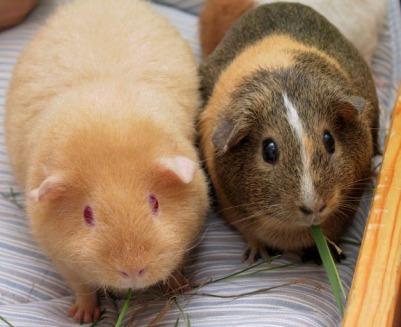 2 gunnie pigs.jpg