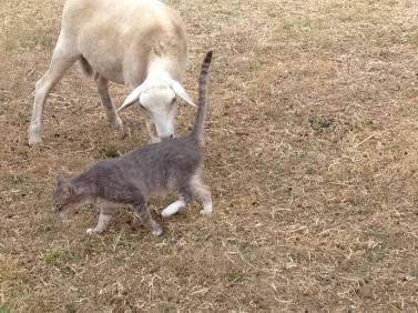 sheep and cat.jpg